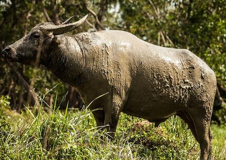 Buffalo in the field photo
