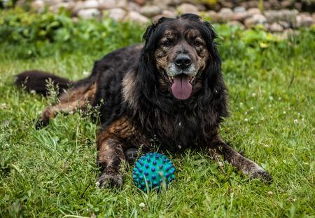sentry: Big black dog rests outdoors. Security sentry Caucasian sheep-dog.