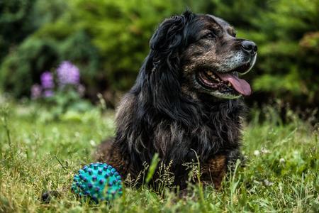 sheepdog: Big black dog rests outdoors. Security sentry Caucasian sheep-dog.