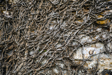 stone background: Roots of ancient tree which covered stone wall as background Stock Photo