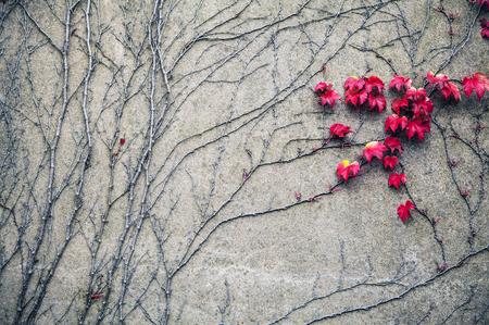 vegetation: Old stone wall covered vegetation. Photo Background. Stock Photo