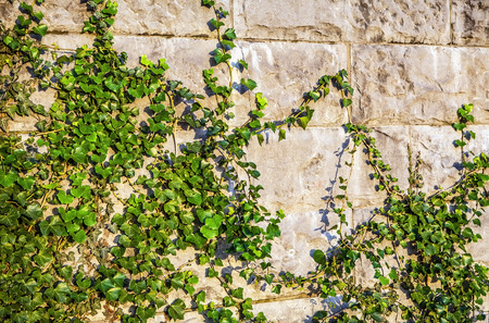 vegetation: Old stone wall covered vegetation. Stock Photo