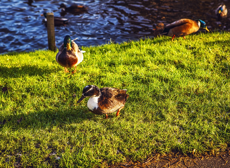 big slick: Duck came ashore.