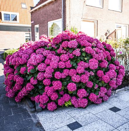 bigleaf hydrangea: Beautiful Pink Hortensia (Hydrangea Macrophylla) growing in street near house.
