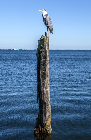 Heron sits on an old wooden log sticking out of water.