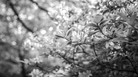 Beautiful leafs of parks bushes as floral background. Black-white photo.
