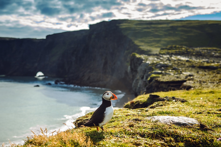 fratercula: Fratercula arctica - sea birds from the order of Charadriiformes. Puffin on rocky coast of Iceland. Stock Photo