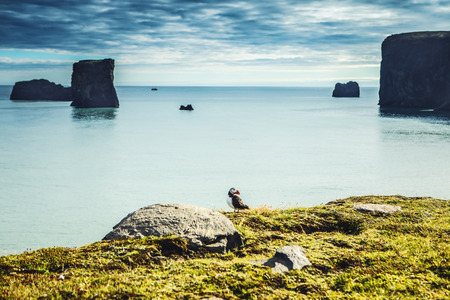 Fratercula arctica - sea birds from the order of Charadriiformes. Puffin on rocky coast of Iceland. Stock Photo