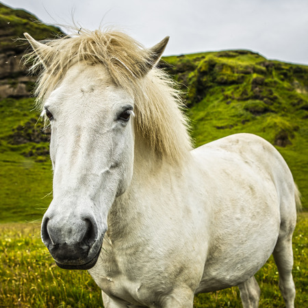 Horses in open pasture in Iceland.