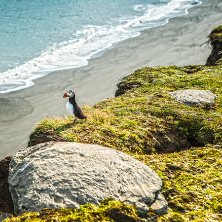 Fratercula arctica - sea birds from the order of Charadriiformes. Puffin on rocky coast of Iceland. Banque d'images