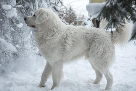 Young Tatra Shepherd Dog in winter snowy garden.
