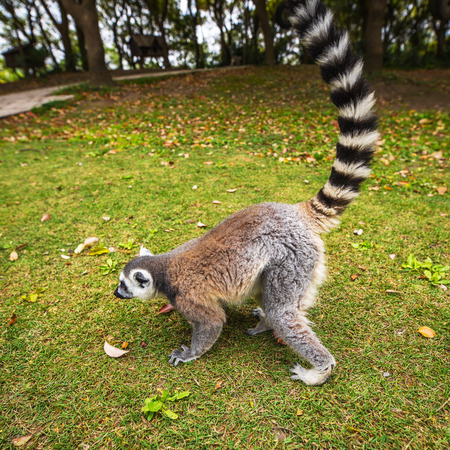 Lemur in wild at tropical park.