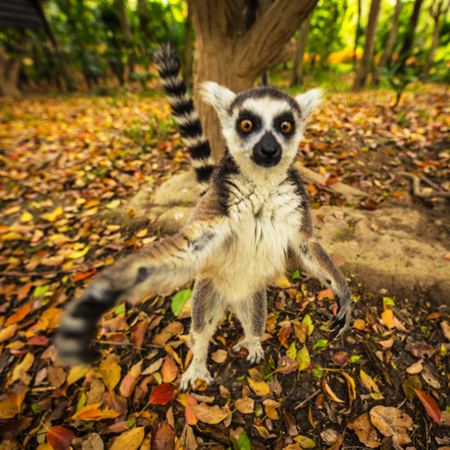 Lemur in wild at tropical park.