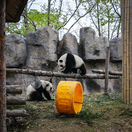 Pandas in Shanghai Zoo.