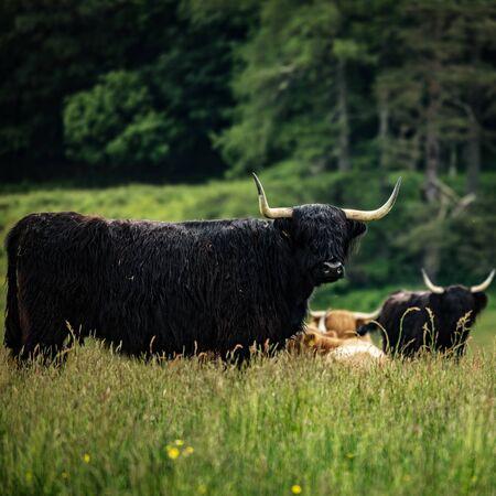 Domestic Scottish highland cattle walk on nature Reklamní fotografie