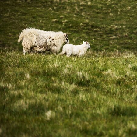 Scenic Scotland meadows with sheep in traditional landscape Stok Fotoğraf