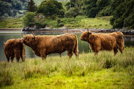 Domestic Scottish highland cattle walk on nature