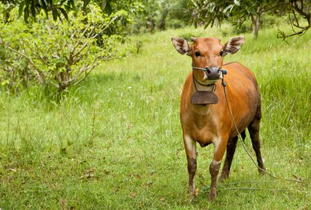 Balinese domestic cow resting on green grass. Imagens