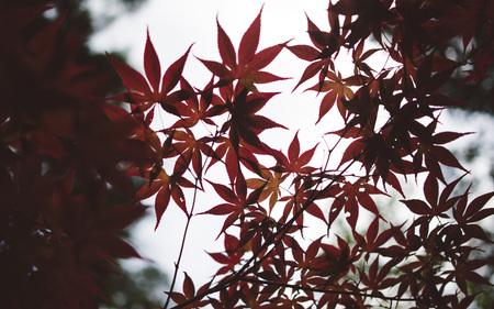 palmate: Japan autumn leaves