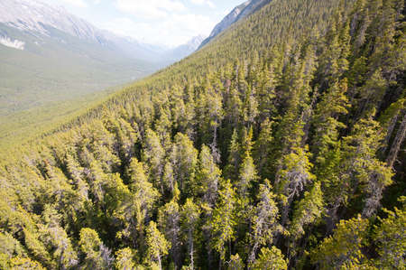Aerial Spruce Forest