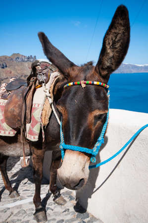 house donkey: Donkey in Santorini Greece 2
