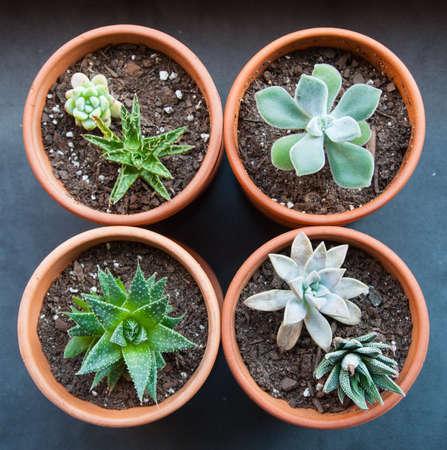 Four potted succulents in a square- echeveria, aloe, sedum, graptopetalum, and haworthia Stock Photo