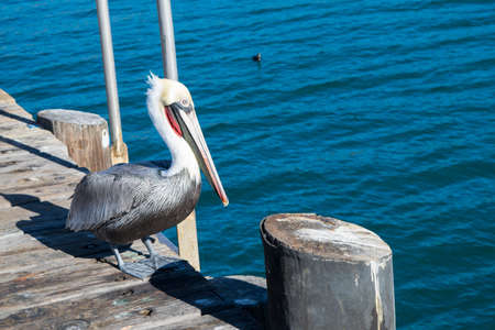 Pelican on harbor with blue ocean background