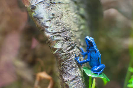 anura: Blue poison dart frog on a tree