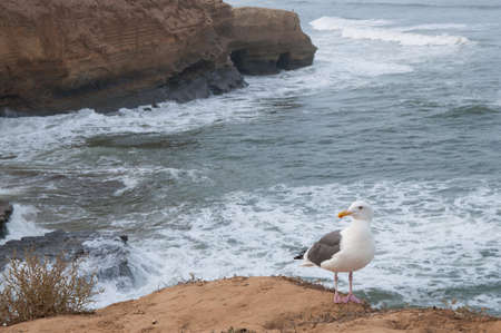 Seagull with ocean background