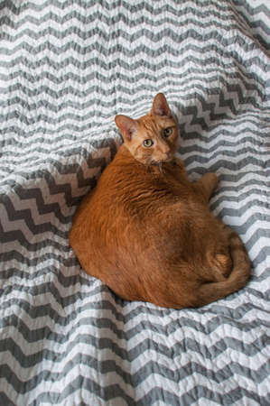 Fat orange tabby cat laying down in natural light Stock Photo