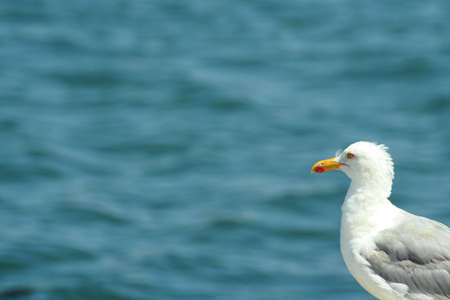 Gulls are birds in the  Laridae. They are most closely related to the terns ( Sternidae) and only distantly related to auks, and skimmers, and more distantly to the waders. Most gulls belong to the large genus Larus. Stock Photo