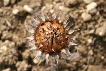Thistle is the common name of a polyphyletic group of flowering plants characterised by leaves with sharp spines or prickles on the margins, mostly in the plant  Asteraceae. Their prickles often occur all over the plant, including on the stem and fl Stock Photo