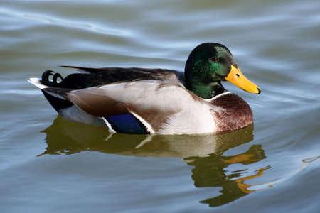 Canard colvert sur une rivi�re