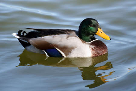 Mallard duck on a river Stock Photo - 5090368