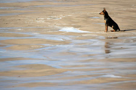 Dog on the beach looking at the ocean.