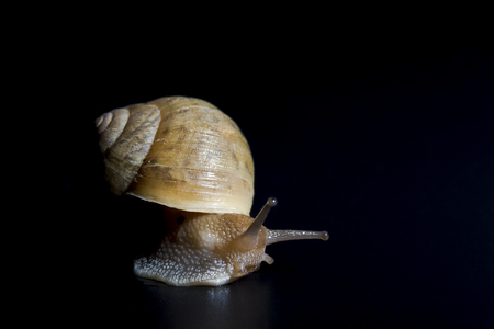 gastropoda: Slow crawling snail