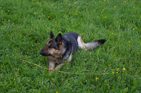 Sheperd dog playing with a wooden stick in the grass, italy Stock Photo