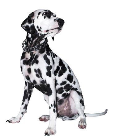 dog, Dalmatian,