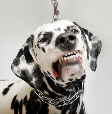 dalmatian: Angry dalmatian dog