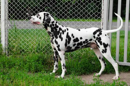 dalmatian: Dalmatian dog costs around metal mesh