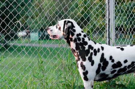 grille: Dalmatian Dog looking at the sun through the metal grille Stock Photo