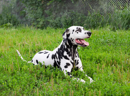 somnolent: Dalmatian dog lying on green grass in summer Stock Photo