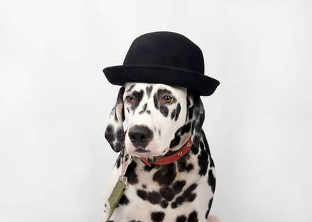 jewish home: Dalmatian black and white portrait studio photo Stock Photo