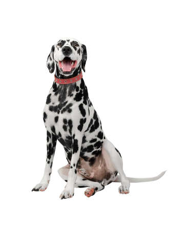 photo studio: Dalmatian dog sitting and yawns photo white background studio Stock Photo
