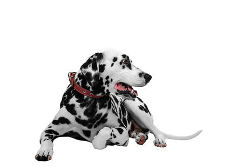Dalmatian dog is sticking his tongue out and looking sideways Stock Photo