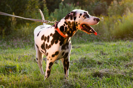 protruding: Dalmatian dog walking on the street in the summer