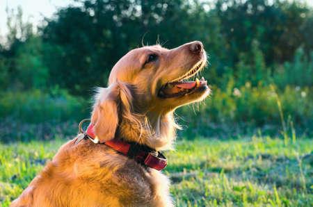 expresiones faciales: golden retriever dog portrait in profile on nature photo Foto de archivo