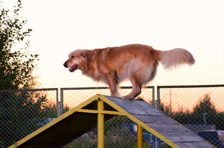 perro corriendo: pura raza de perro perdiguero de oro ejecutar patio del verano Foto de archivo