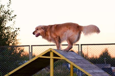 thoroughbred golden Retriever dog run playground summer