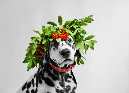 Portrait of dalmatian dog in a beautiful wreath of rowan berries on a white background in studio Stock Photo